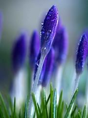 Dof Crocus (saxonfenken) Tags: blue flower garden drops dof purple crocus superhero thumbsup rockon bigmomma gamewinner 796 thechallengefactory pregamewinner yourock1stplaceunam favescontestrunnerup 796crocus