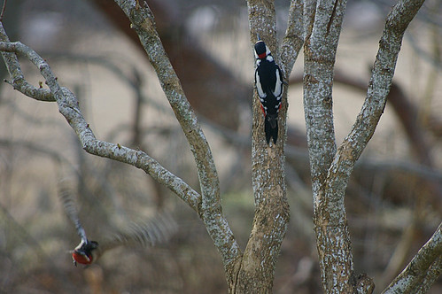 Woodpecker Pair 1