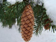 Winter Trim (Dave Hosford) Tags: winter snow norway female cone evergreen pinecone needles botany biology spruce conifer picea strobilus abies gymnosperm