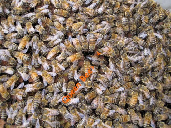 beekeeping 051 (650 x 488)