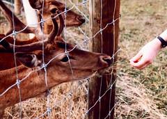 Deer feeding New Zealand 1991 Queen Elizabeth Park Masterton