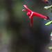 Asteranthera ovata