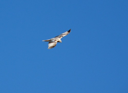 12098 - Leucistic Red Kite at Gigrin Farm