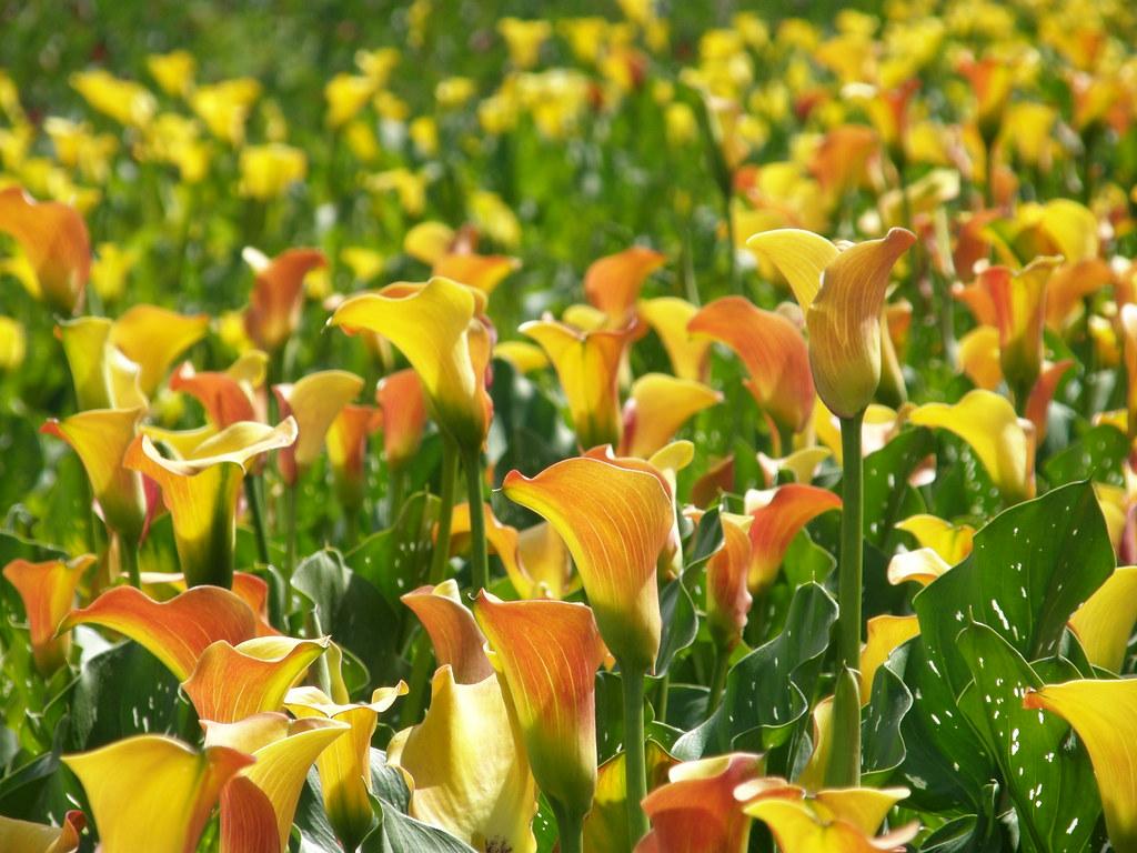 orange calla lily wedding bouquet