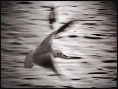 One day (Salva Magaz [Om Qui Voyage]) Tags: bird water agua eau seagull flight vol pajaro gaviota oiseau mouette vuelo mouettes oqv olympuse520 salvamagaz zuiko40150mmf40