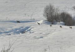 Roe Deer (Capreolus capreolus) (Billy Lindblom) Tags: sweden naturereserve roedeer capreoluscapreolus oxaryggen