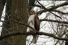 Magestic (Laura Rowan) Tags: canon rebel afternoon hawk hunting overcast arboretum raptor