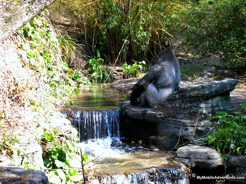 IMG_3159-WDW-DAK-gorilla-waterfall