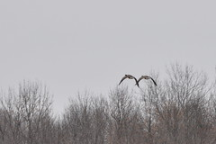 two geese (pictureapromise) Tags: county bridge snow tree ice water river flooding flood nd abercrombie roadclosed redriver fargo colfax 2010 richland march15 redriverofthenorth galchutt reflectionredriverflood2010 wildriceriverflood2010 redrivervalley2010