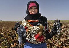 Chateau Roslane (O.Blaise) Tags: voyage femme travail maroc vin vignoble vigne raisin couleur viticulture afrique meknes vendange paysan vigneron aoc 1ercru coteauxdelalas coteauxdelatlas