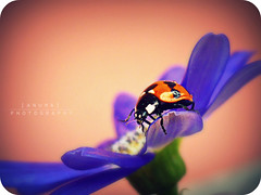 Happy Friday ~ ! (Anuma S. Bhattarai) Tags: uk blue nepal red orange white flower macro cute green nature yellow bug garden photography march scotland asia edinburgh flickr shot unitedkingdom awesome blues cybershot ladybird ladybug ladybugs monday cyber nepali sharma mondayblues anuma theunforgettablepictures bhattarai cybershotdsch50 ladybugfacts anumasphotography anumasharmabhattarai