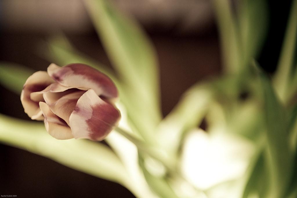 #76 Tulip