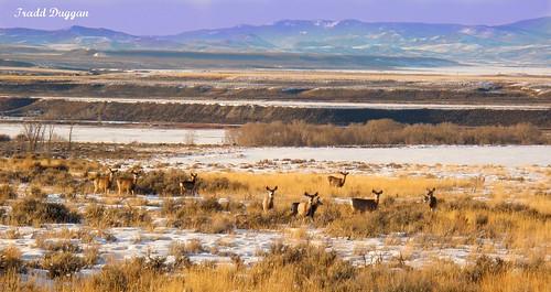 mule deer shot