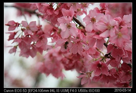 20100314C1苗栗市的櫻花