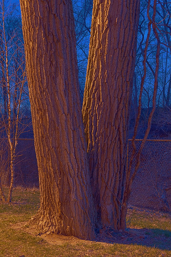 River des Peres Greenway, in Saint Louis, Missouri, USA - twin trees
