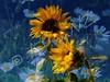 flower-boquet merge daisies sunflowers (artisanz) Tags: flowers newzealand collage photoshop e300 picnik