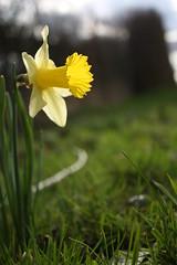 daffodil (Annika1982) Tags: wood flowers sun nature field rain forest easter outside spring natur feld wiese blumen daffodil ostern holz sonne wald märz regen marsch frühling narzisse osterglocke drausen