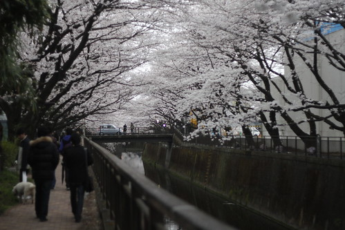 A path through the cherry blossoms