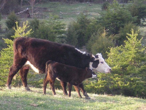 Mama Cow and Baby
