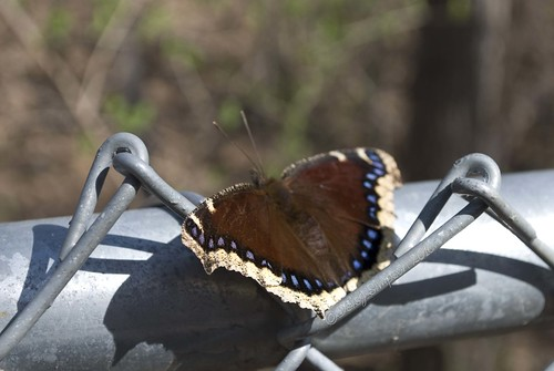 232 resting butterfly