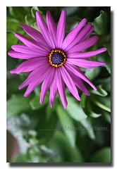 Osteospermum (Alhashan) Tags: pink plant flower green yellow purple magenta sunflower daisy perennials  veldt osteospermum  ibraheem   dimorphotheca  ecklonis  calenduleae     hashan  alhashan