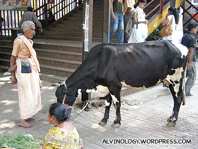 Cows are everywhere in India