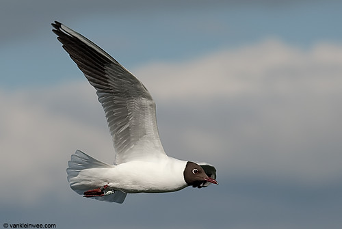 Black-headed Gull, adult, W[E5AV]