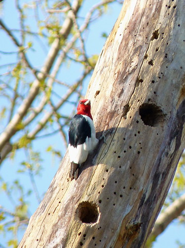 Red-headed Woodpecker (by brytborte)