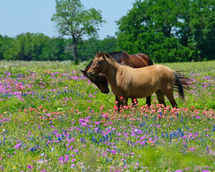 Horses and Wildflowers (TXphotoblog) Tags: horse pet plant flower nature grass sanantonio landscape nikon texas tx stock meadow bluebonnet wildflower indianpaintbrush d300