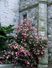 Spring at Government House (FernShade) Tags: pink flowers gardens spring flora landscaping victoria camellia britishcolumbiacanada gardendesign governmenthouse familytheaceae viceregalestate