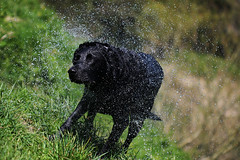 Slant (JPBWright) Tags: dog water hair photography countryside walk spray shake wiltshire blitz freshford jameswright jpbwright jameswrightphotography