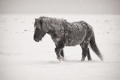Weathered (Villi.Ingi) Tags: winter bw horse snow cold weather animal sepia canon walking mono iceland alone walk pony 7d copper weathered snowing equine icelandichorse hestur pipc skagastrnd giap world100f