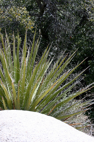yucca schindigera