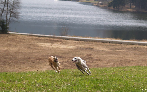 Whippets am Schwarzsee
