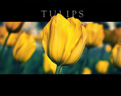 One in a million (Dr Cullen) Tags: yellow 3d nikon tulips bokeh amarillo tulipanes 35mmf18 drcullen d300s nikond300s