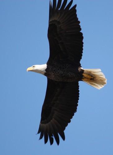 Bald Eagle - 2/15/2010