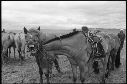 Photo noir et blanc de chevaux de Mongolie