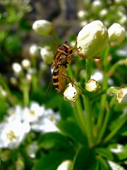 T'as d'beaux yeux, tu sais! (Solne.CB) Tags: nature insect eyes yeux hoverfly insecte syrphe orangerdumexique choisyaternata mexicanorangeblossom solnecb