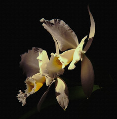 Happy Birthday dear ELLEN (itala2007) Tags: orchid flower nature friendship itala2007 artistictreasurechest worldsartgallery