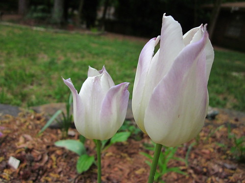 White tulips with lavendar tips.
