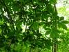 Ahrweiler, Rotweinwanderweg, Chestnut Tree