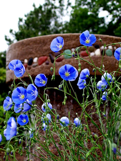 blue flax at botanical gardens