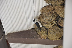 _DSC2477 (Giulio Parentini) Tags: flying nest swallow swallows rondini rondine