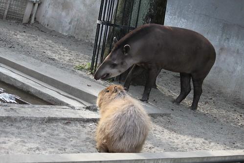 カピバラ Capybara 上野動物園