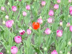 Tulipany w Szczecinie (ZnakZorro) Tags: park poland natura 2010 szczecin maj wiosna tulipany lato parkkasprowicza hasior znakzorro ogrdrany