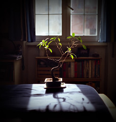 Hope Never Dies (NyYankee) Tags: light sunset rome film home window mediumformat bed shadows bonsai p6 pentaconsixtl fujireala100 carlzeissjenabiometar80mmf28
