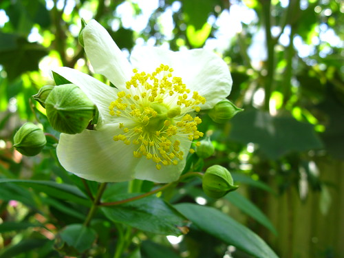 Carpenteria, my favorite shrub in May, is starting to make flowers.