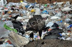 Landfill Eagle (Trucker Gloom) Tags: bird trash garbage eagle bald raptor landfill
