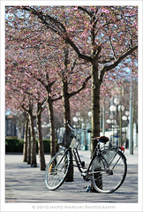 Cherry Blossom 2010 (Mas Tok) Tags: pink beautiful cherry sweden stockholm rosa peaceful sakura sverige bunga indah blommor damai merdeka pagi jambon 70200mm fgel kungstrdgrden d300 burung 105mm cantik blmes asri krsbr swedia 1116mm jantomarzuki
