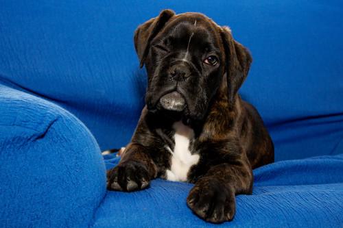 フリー写真素材, 哺乳類, イヌ科, 犬・イヌ, 子犬・小犬, ボクサー (犬),